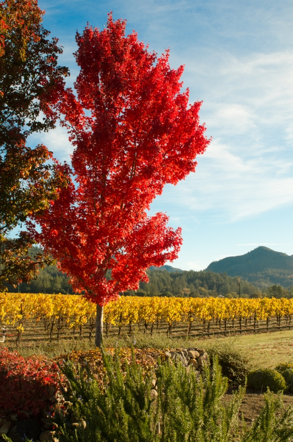 Fall foliage, landscape, vineyards, trees